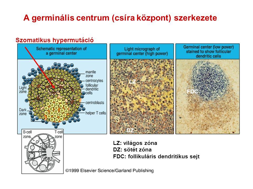 A germinális centrum (csíra központ) szerkezete FDC Szomatikus hypermutáció DZ LZ LZ: világos zóna DZ: sötét zóna FDC: follikuláris dendritikus sejt