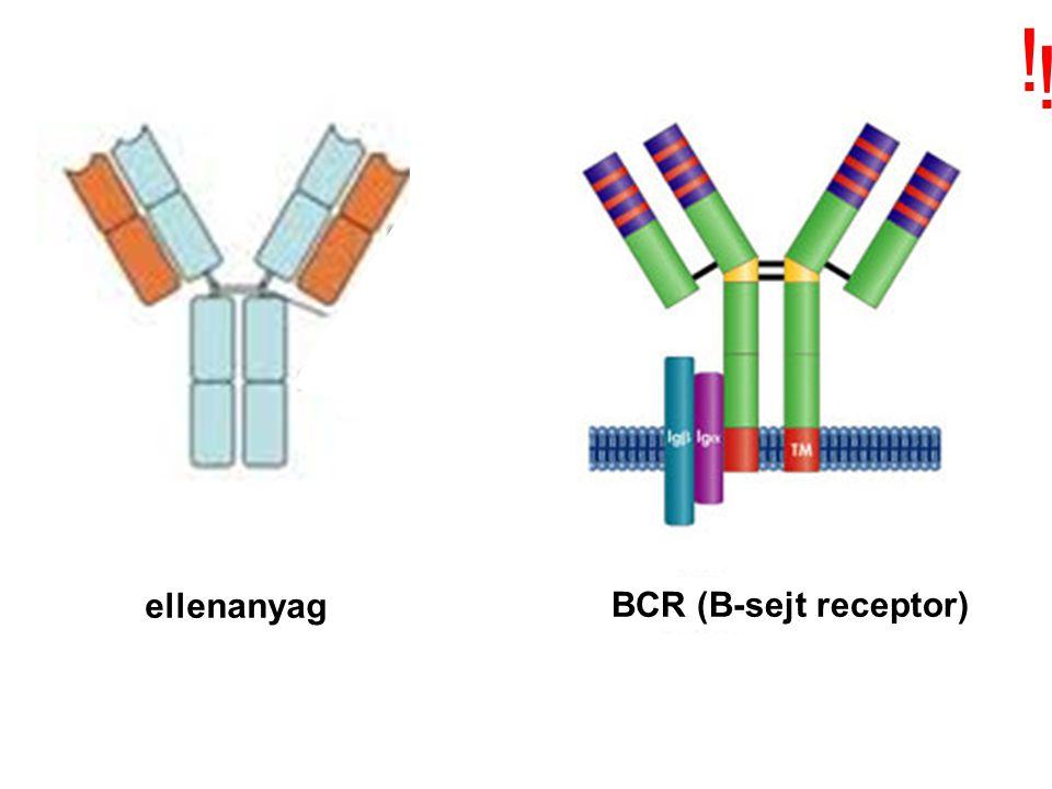 Sok variábilis gén szegmens van, de csak egy konstans gén szegmens VCVVV CSÍRAVONAL A V és C gének csak a B-sejtekben kerülnek egymás mellé C V VV B-SEJT Fehérje GénGénGénGén GÉN SZEGMENSEK SZOMATIKUS ÁTRENDEZŐDÉSE –rekombinációja- EGY GÉNNÉ