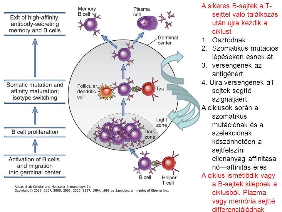 A sikeres B-sejtek a T- sejttel való találkozás után újra kezdik a ciklust 1.Osztódnak 2.Szomatikus mutációs lépéseken esnek át.