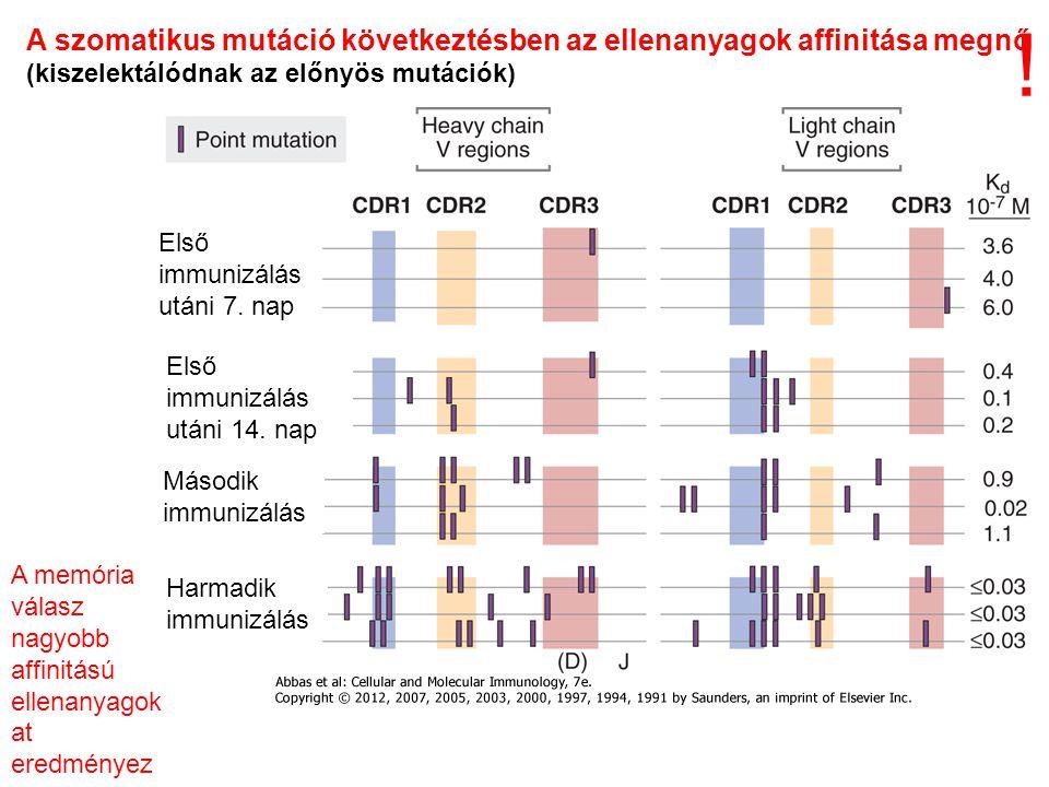 A szomatikus mutáció következtésben az ellenanyagok affinitása megnő (kiszelektálódnak az előnyös mutációk) A memória válasz nagyobb affinitású ellenanyagok at eredményez Első immunizálás utáni 7.