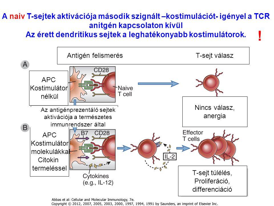 A naiv T-sejtek aktivációja második szignált –kostimulációt- igényel a TCR anitgén kapcsolaton kívül Az érett dendritikus sejtek a leghatékonyabb kost