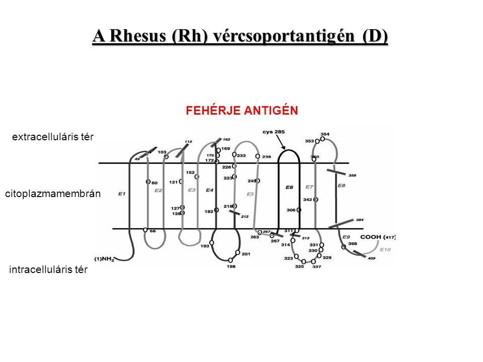 A Rhesus (Rh) vércsoportantigén (D) FEHÉRJE ANTIGÉN citoplazmamembrán extracelluláris tér intracelluláris tér