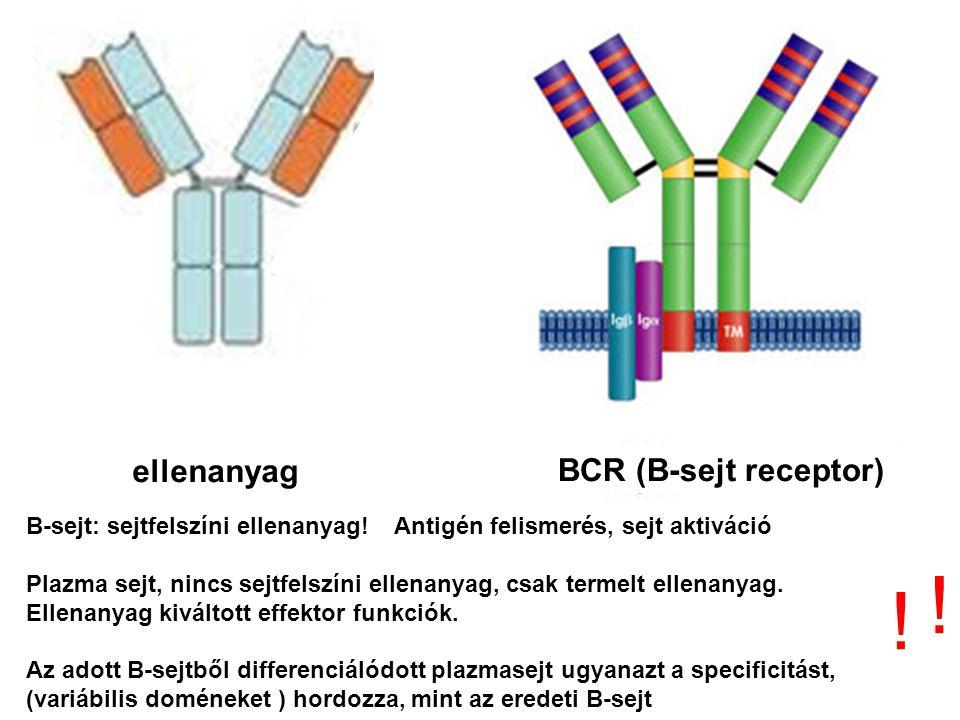 ellenanyag BCR (B-sejt receptor) ! ! B-sejt: sejtfelszíni ellenanyag! Antigén felismerés, sejt aktiváció Plazma sejt, nincs sejtfelszíni ellenanyag, c