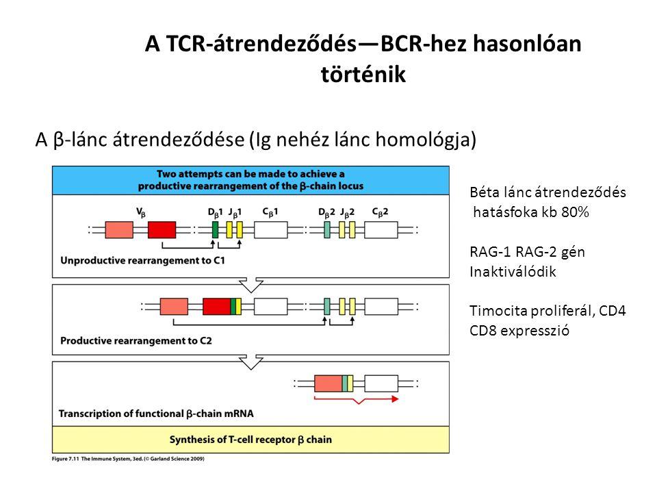 Az α-lánc átrendeződése (Ig könnyű lánc) A TCR-átrendeződés— Az α lánc átrendeződése Eltávolítja a δ láncot