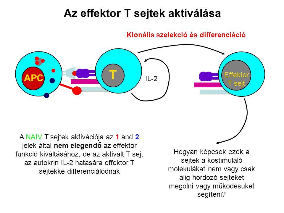 Az effektor T sejtek aktiválása APC T A NAIV T sejtek aktivációja az 1 and 2 jelek által nem elegendő az effektor funkció kiváltásához, de az aktivált
