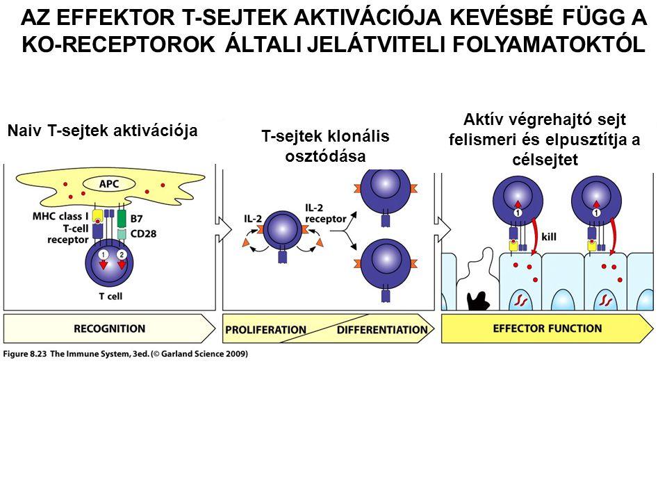 AZ EFFEKTOR T-SEJTEK AKTIVÁCIÓJA KEVÉSBÉ FÜGG A KO-RECEPTOROK ÁLTALI JELÁTVITELI FOLYAMATOKTÓL Naiv T-sejtek aktivációja T-sejtek klonális osztódása A