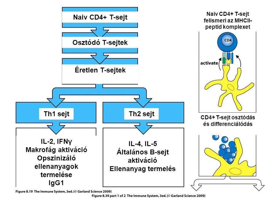 B sejt Segítő T sejt IL-2 IL-4 IL-5 IL-2 IL-4 IL-5 IgM IgG IgA IgE IL-2 IL-4 IL-6 IFNγ IL-5 TGFβ IL-4 AZ IZOTÍPUS VÁLTÁS SZABÁLYOZÁSA AKTIVÁLT B LIMFOCITÁKBAN B sejt osztódás és differenciáció – izotípus váltás