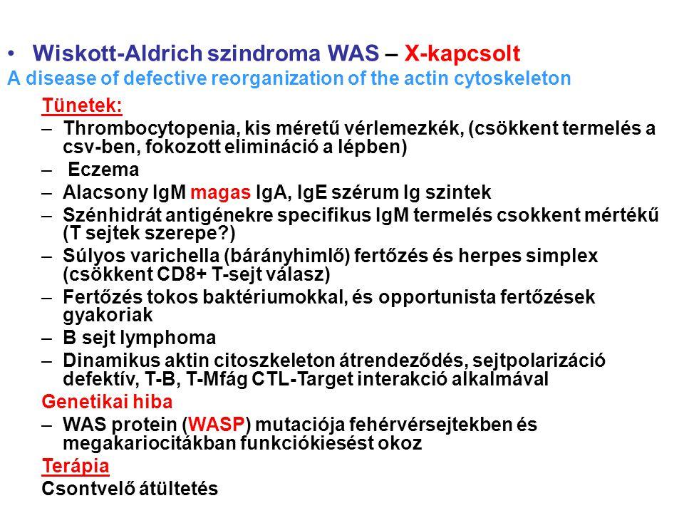 Wiskott-Aldrich szindroma WAS – X-kapcsolt A disease of defective reorganization of the actin cytoskeleton Tünetek: –Thrombocytopenia, kis méretű vérlemezkék, (csökkent termelés a csv-ben, fokozott elimináció a lépben) – Eczema –Alacsony IgM magas IgA, IgE szérum Ig szintek –Szénhidrát antigénekre specifikus IgM termelés csokkent mértékű (T sejtek szerepe ) –Súlyos varichella (bárányhimlő) fertőzés és herpes simplex (csökkent CD8+ T-sejt válasz) –Fertőzés tokos baktériumokkal, és opportunista fertőzések gyakoriak –B sejt lymphoma –Dinamikus aktin citoszkeleton átrendeződés, sejtpolarizáció defektív, T-B, T-Mfág CTL-Target interakció alkalmával Genetikai hiba –WAS protein (WASP) mutaciója fehérvérsejtekben és megakariocitákban funkciókiesést okoz Terápia Csontvelő átültetés