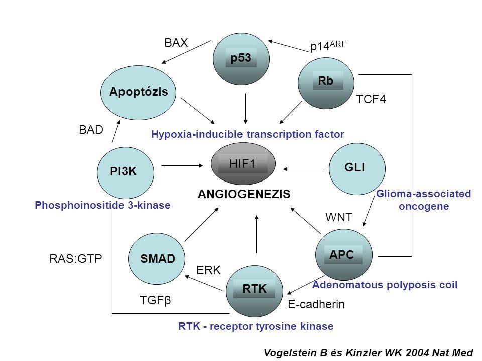 """Normál epitel sejtek 2 APC mutáció Örökletes Adenomás polip 1 Ras mutáció Adenomás polip 2 p53 mutáció Colon carcinoma Kromoszóma transzlokáció Metasztatizáló colon carcinoma A tumor képződés """"multi-hit modelje Knudson A.G."""