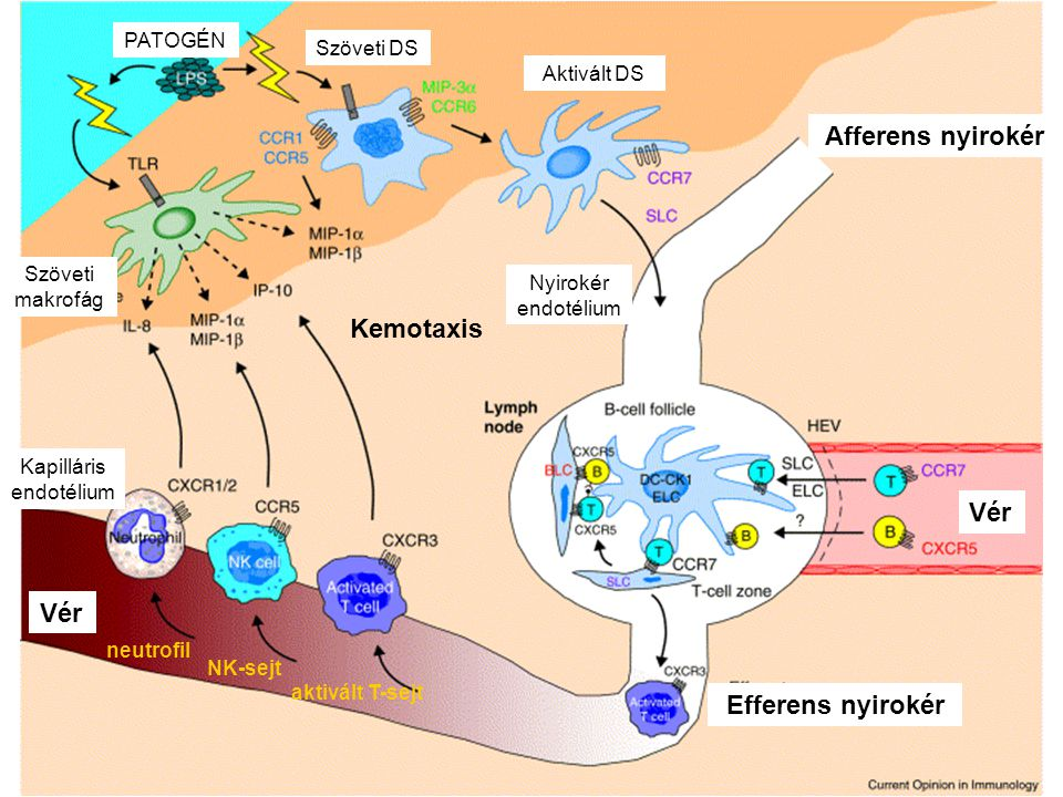 PATOGÉN Szöveti DS Szöveti makrofág Kapilláris endotélium Vér neutrofil NK-sejt aktivált T-sejt Kemotaxis Aktivált DS Nyirokér endotélium Afferens nyi