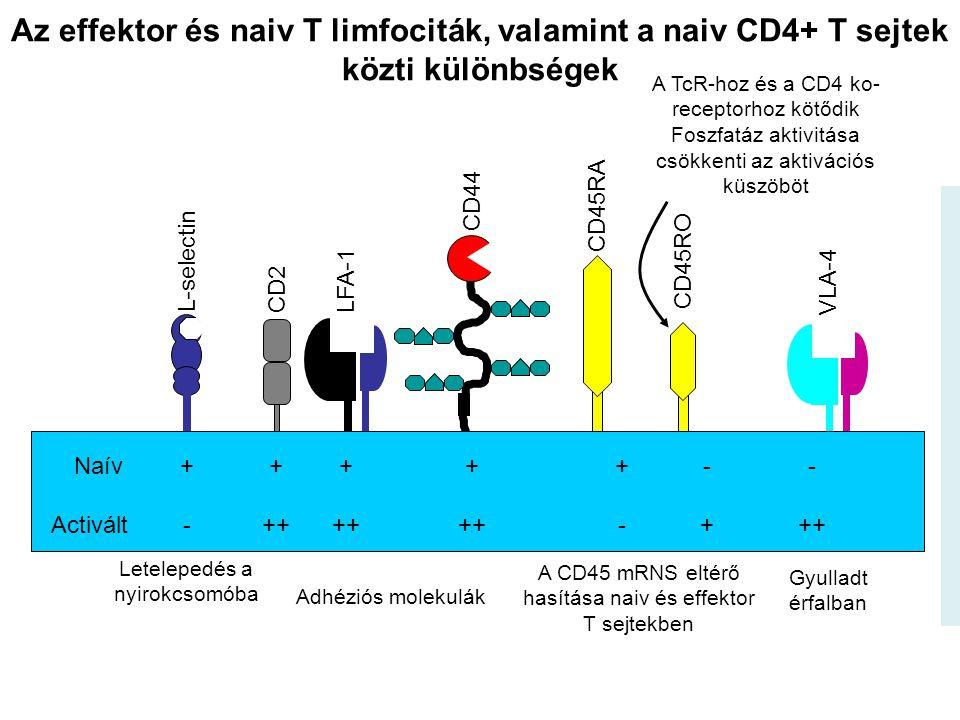 EFFECTOR/MEMÓRIA LIMFOCITÁK Visszatérnek a stimuláció helyére (antigén) Mukozális felszín MADCAM-1 Visszatartás a lépben, nyirokcsomóban LFA-1 – ICAM-1/2 integrin – sejt és extracelluláris matrix Vándorlás a gyulladt szövetbe az aktivált endotél sejtek közt Lamina propria a bélben Mukózális epitélium Dermis a bőrben Aktivált endotél LFA-1 VLA-4 VCAM-1ICAM-1 Aktivált effector/memória limfocita Az endotél sejteken és a T- limfocitákon megváltozik a sejtfelszíni adhéziós molekulák kifejeződése