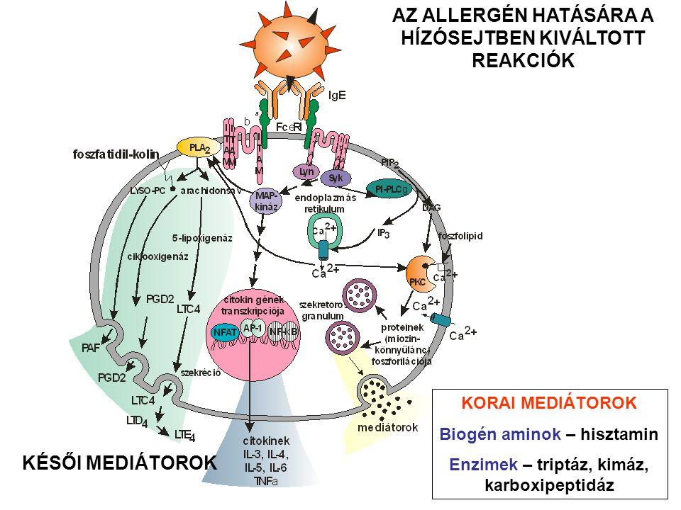 AZ ALLERGÉN HATÁSÁRA A HÍZÓSEJTBEN KIVÁLTOTT REAKCIÓK KORAI MEDIÁTOROK Biogén aminok – hisztamin Enzimek – triptáz, kimáz, karboxipeptidáz KÉSŐI MEDIÁTOROK