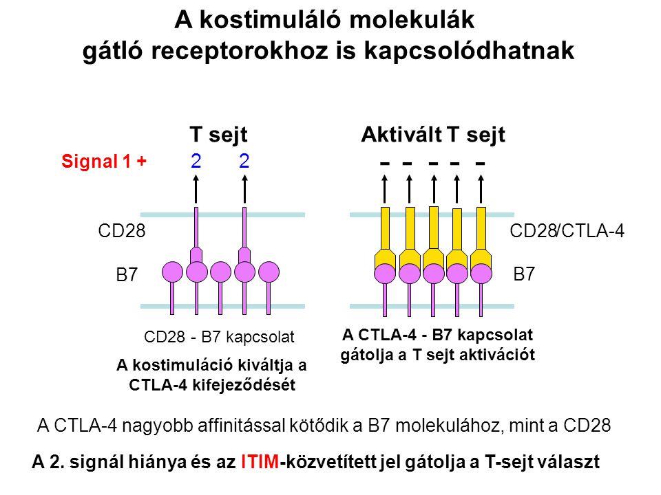 CD28 Aktivált T sejt CD28 - B7 kapcsolat A kostimuláló molekulák gátló receptorokhoz is kapcsolódhatnak A CTLA-4 nagyobb affinitással kötődik a B7 molekulához, mint a CD28 /CTLA-4 B7 CD28 T sejt B7 22 Signal 1 + A kostimuláció kiváltja a CTLA-4 kifejeződését A 2.