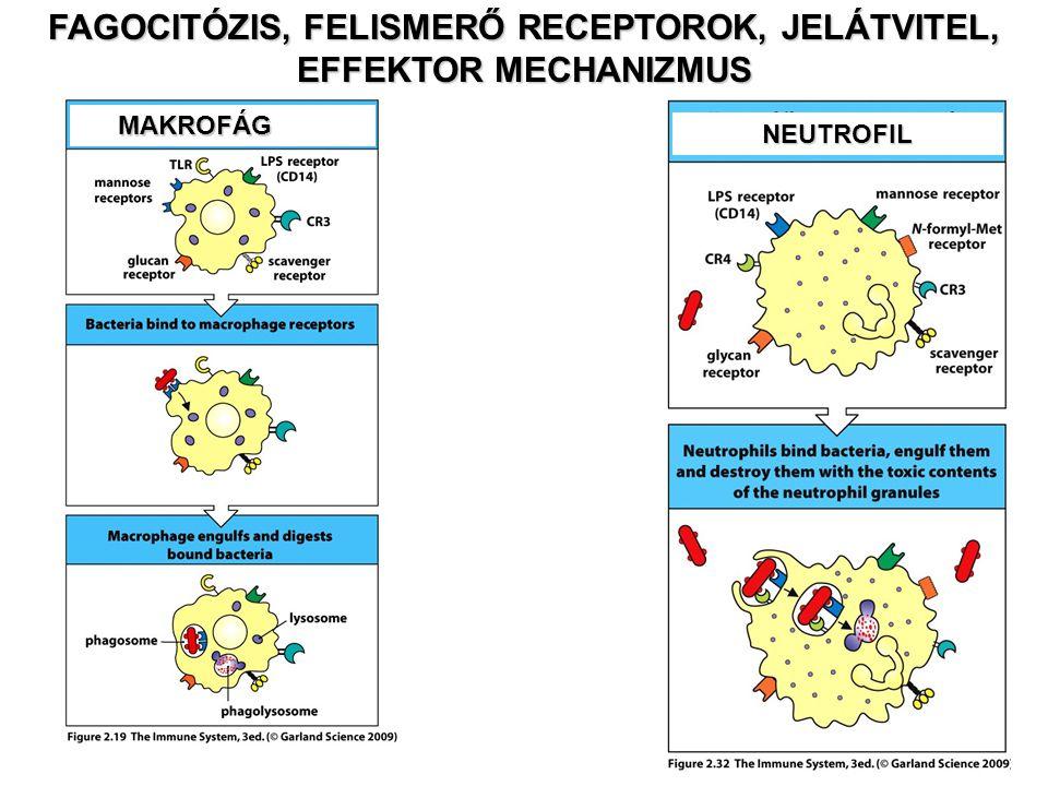 Baktérium CD14 TLR4 LPSNFkBMyD88 IRAK LPB IL-6 Gomba Toll KaktusTube Spätzel Peptid Enzim Pelle Relish A TOLL RECEPTOROK A TÖRZSFEJLŐDÉS SORÁN KONZERVÁLT JELÁTVITELI ÚTAT AKTIVÁLNAK Gyulladás Akut fázis reakció Veszély jel MakrofágDrosophila CD14 TLR4 TRIF IRF3 STAT1 IFN  TLR3