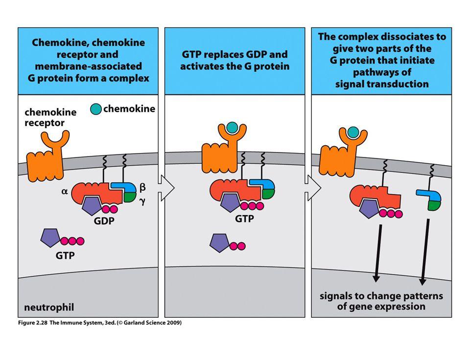 """FAGOCITA RENDSZER GRANULOCITÁK MONOCITA – MAKROFÁG – DENDRITIKUS SEJT Fertőző betegségek elleni védelem Tumorok eliminálása Szervátültetés Házörző """"gatekeeper funkció Ártalmatlan és kórokozó mikróbák """"érzékelése A természetes immunitás gyors aktiválása Az adaptív immunválasz elindítása Saját struktúrákkal szembeni tolerancia fenntartása"""