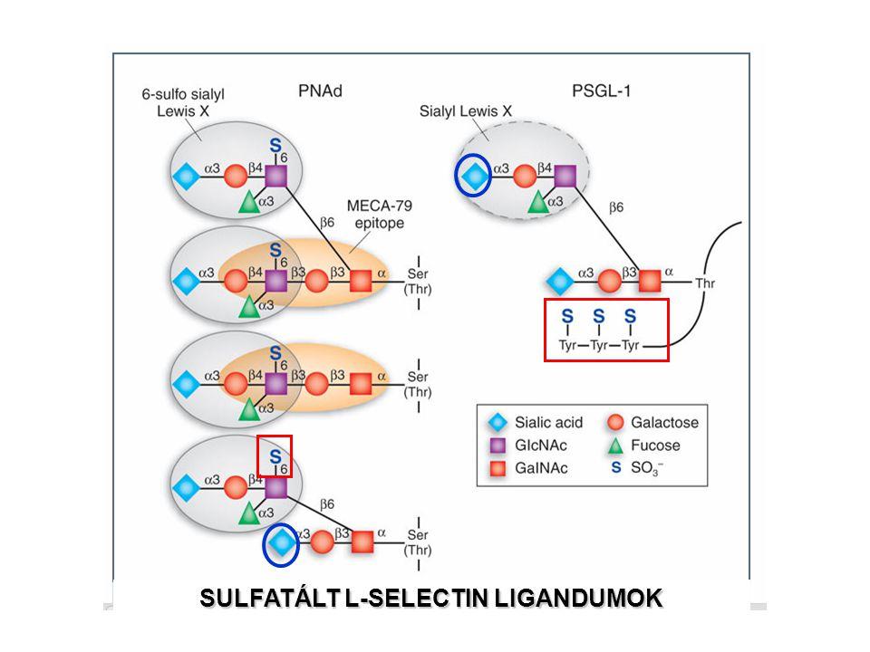 SULFATÁLT L-SELECTIN LIGANDUMOK