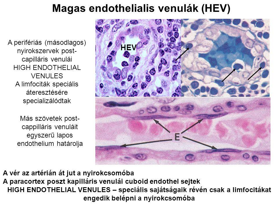 HEV A vér az artérián át jut a nyirokcsomóba A paracortex poszt kapilláris venulái cuboid endothel sejtek HIGH ENDOTHELIAL VENULES – speciális sajátsá