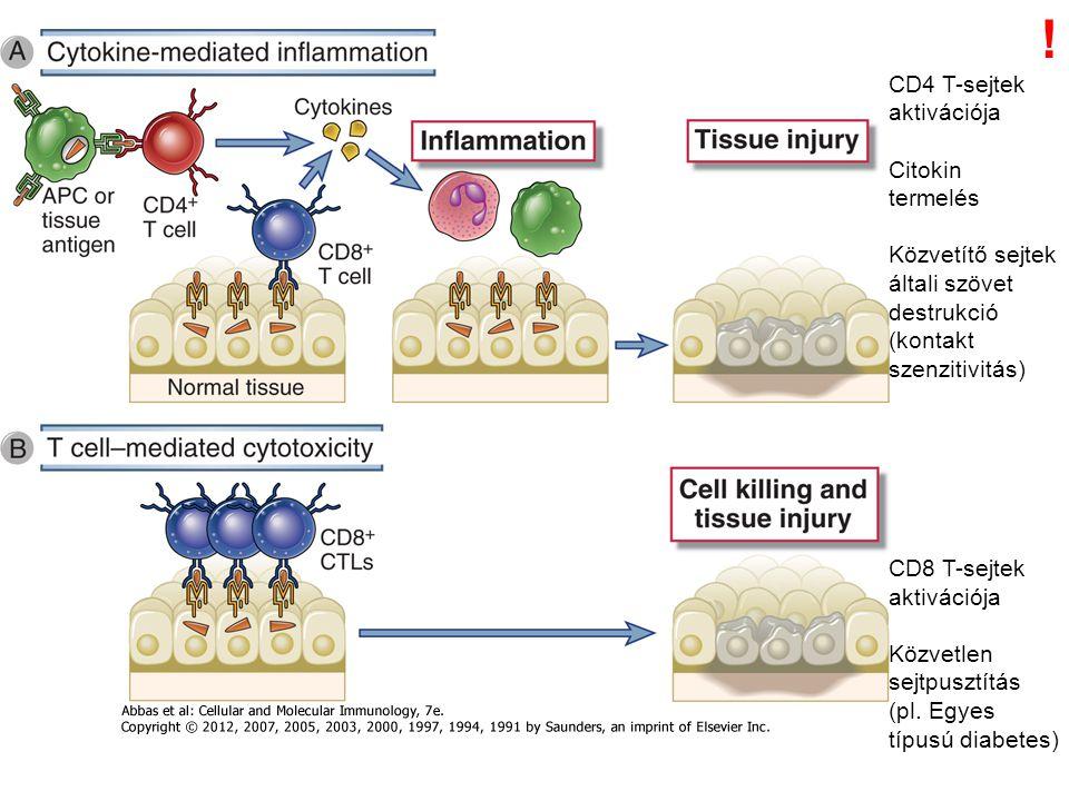 CD4 T-sejtek aktivációja Citokin termelés Közvetítő sejtek általi szövet destrukció (kontakt szenzitivitás) CD8 T-sejtek aktivációja Közvetlen sejtpus