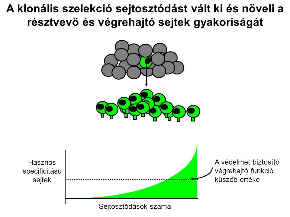 A klonális szelekció sejtosztódást vált ki és növeli a résztvevő és végrehajtó sejtek gyakoriságát Sejtosztódások száma Hasznos specificitású sejtek A védelmet biztosító végrehajtó funkció küszöb értéke