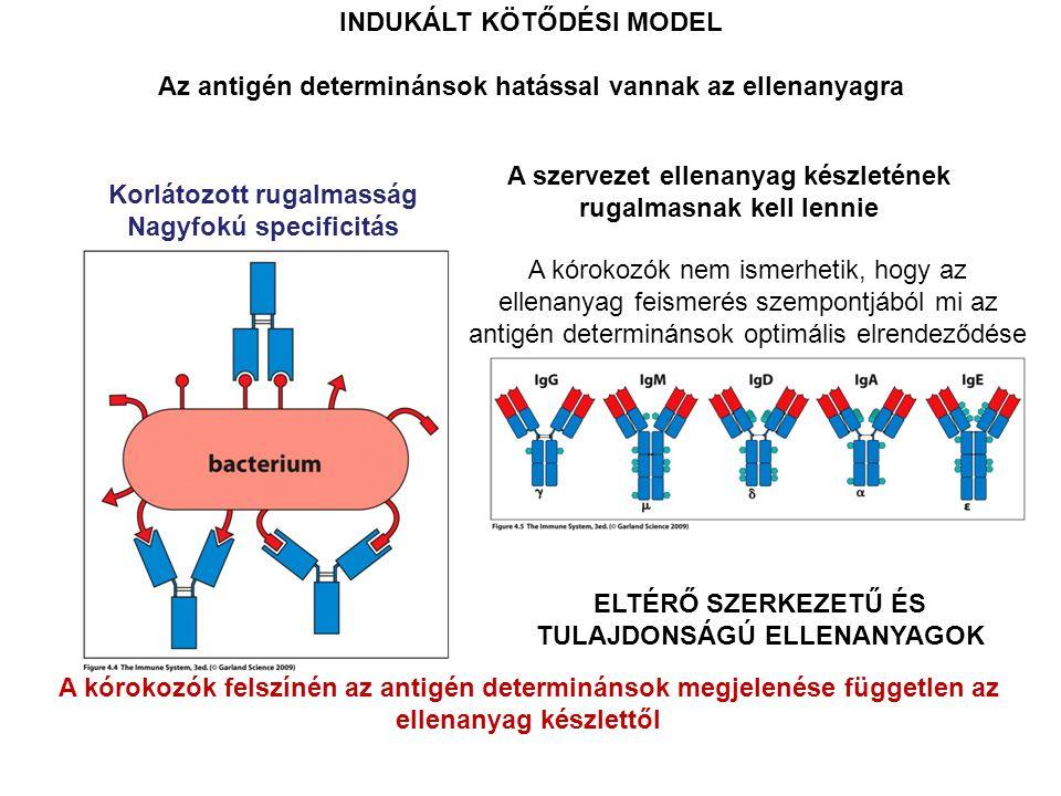 A kórokozók felszínén az antigén determinánsok megjelenése független az ellenanyag készlettől INDUKÁLT KÖTŐDÉSI MODEL Az antigén determinánsok hatással vannak az ellenanyagra A kórokozók nem ismerhetik, hogy az ellenanyag feismerés szempontjából mi az antigén determinánsok optimális elrendeződése A szervezet ellenanyag készletének rugalmasnak kell lennie ELTÉRŐ SZERKEZETŰ ÉS TULAJDONSÁGÚ ELLENANYAGOK Korlátozott rugalmasság Nagyfokú specificitás