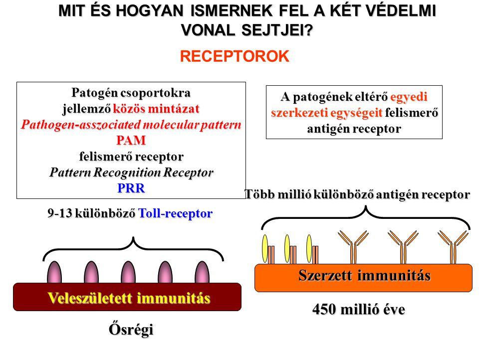 AZ IMMUNRENDSZER KETTŐS VÉDELMI VONALA VELESZÜLETETT/TERMÉSZETES IMMUNITÁS Előzetes aktiváció és felszaporodás nélkül véd a kórokozóktól SZERZETT/ADAPTÍV IMMUNITÁS Aktiváció és klonális osztódást követően véd a kórokozóktól SEJTEK OLDOTT ANYAGOK Fagociták (monocita/makrofág, neutrofil, dendritikus sejt) Ölő sejtek (NK sejt,  δ T sejt) B1 limfociták (CD5+) B limfociták (B2) T limfociták segítő T sejt ölő T sejt Enzimek (lizozim,transferrin, laktoferrin, spermin, tripszin) Antibakteriális peptidek Komplement rendszer Citokinek, kemokinek Ellenanyagok