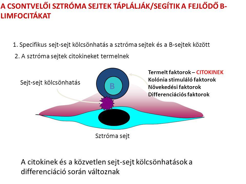 Termelt faktorok – CITOKINEK Kolónia stimuláló faktorok Növekedési faktorok Differenciációs faktorok 2. A sztróma sejtek citokineket termelnek B A CSO
