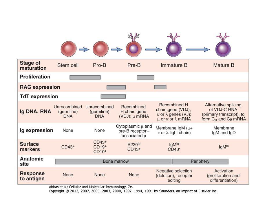 Perifériás A B sejt fejlődés szakaszai Őssejt - HSCKorai pro-B sejtKésői pro-B sejt Kis pre-B sejtÉretlen B sejtérett B sejt Az egyes érési fázisokat sejtfelszíni markerek megjelenése (vagy eltűnése) jellemzi Csíravonal D H to J H V H to D H J H VHDHJHVHDHJH Nagy pre-B sejt Pre-receptor Y Receptor H+L