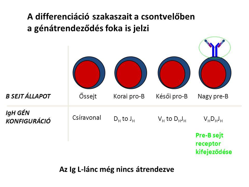 A pre-B sejt receptor stimulálásának következményei 1.Biztosítja az egyedi specificitást Nagy Pre-B Sztróma sejt Ismeretlen ligand 3.