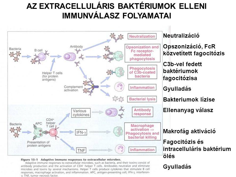 AZ EXTRACELLULÁRIS BAKTÉRIUMOK ELLENI IMMUNVÁLASZ FOLYAMATAI Neutralizáció Opszonizáció, FcR közvetített fagocitózis C3b-vel fedett baktériumok fagoci