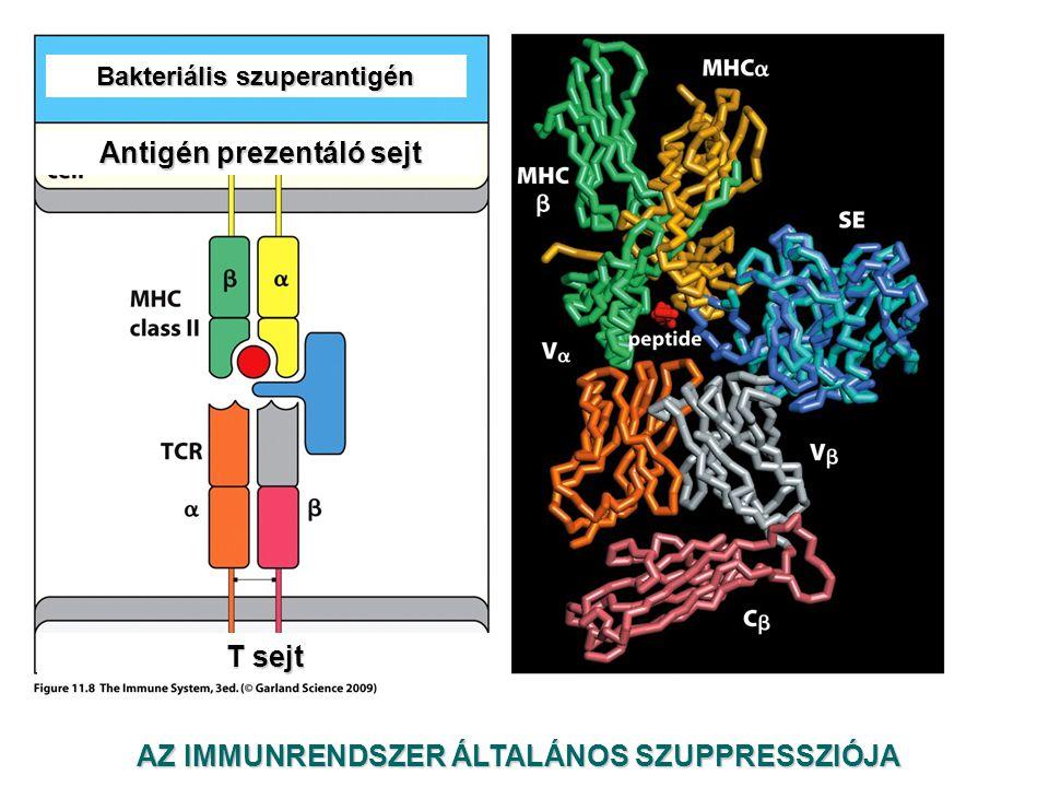 AZ IMMUNRENDSZER ÁLTALÁNOS SZUPPRESSZIÓJA Antigén prezentáló sejt Bakteriális szuperantigén T sejt