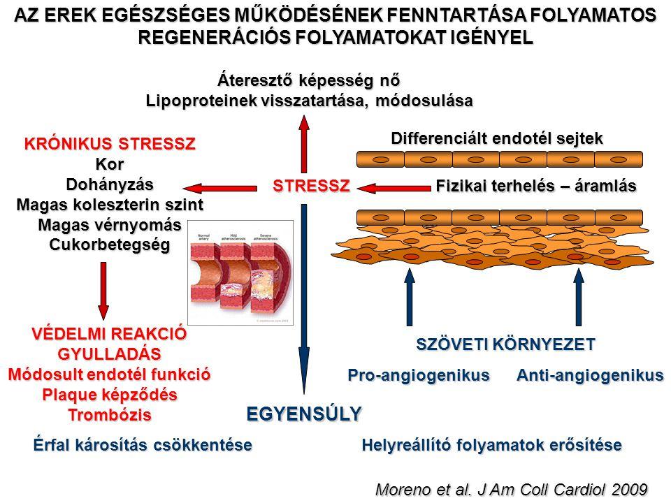 Fizikai terhelés – áramlás STRESSZ Differenciált endotél sejtek Áteresztő képesség nő Lipoproteinek visszatartása, módosulása Érfal károsítás csökkent