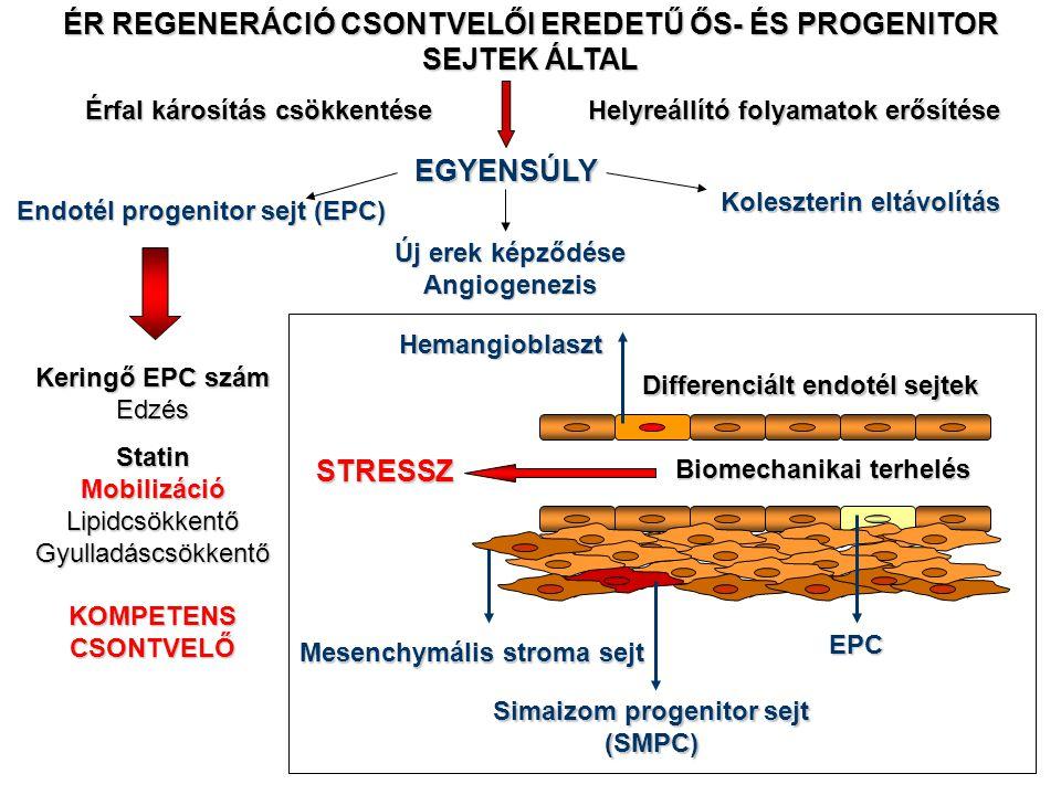 Érfal károsítás csökkentése Helyreállító folyamatok erősítése EGYENSÚLY Koleszterin eltávolítás Új erek képződése Angiogenezis ÉR REGENERÁCIÓ CSONTVEL