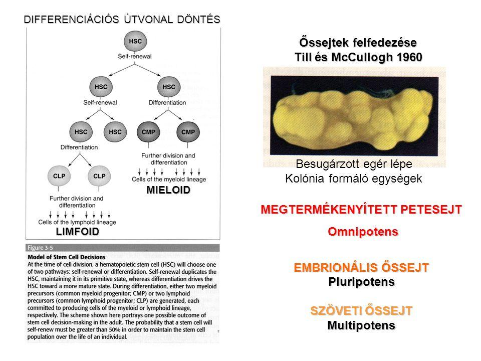 Besugárzott egér lépe Kolónia formáló egységek Őssejtek felfedezése Till és McCullogh 1960 MEGTERMÉKENYÍTETT PETESEJT Omnipotens Omnipotens EMBRIONÁLI
