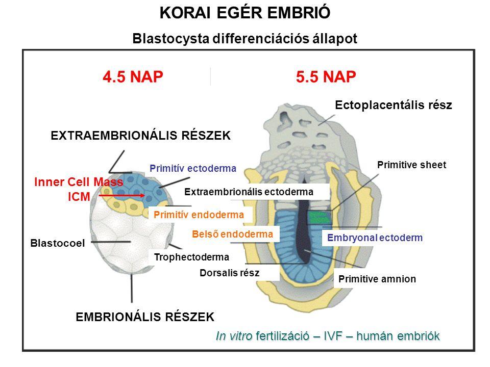 KORAI EGÉR EMBRIÓ Blastocysta differenciációs állapot 4.5 NAP5.5 NAP Ectoplacentális rész EXTRAEMBRIONÁLIS RÉSZEK EMBRIONÁLIS RÉSZEK Blastocoel Dorsal