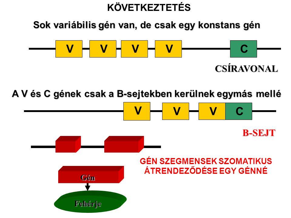 Sok variábilis gén van, de csak egy konstans gén VCVVV CSÍRAVONAL A V és C gének csak a B-sejtekben kerülnek egymás mellé C V VV B-SEJT KÖVETKEZTETÉSFehérje GénGénGénGén GÉN SZEGMENSEK SZOMATIKUS ÁTRENDEZŐDÉSE EGY GÉNNÉ