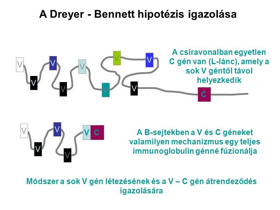 A Dreyer - Bennett hipotézis igazolása V V V V V V V V V V V V V A B-sejtekben a V és C géneket valamilyen mechanizmus egy teljes immunoglobulin génné fúzionálja C V C A csíravonalban egyetlen C gén van (L-lánc), amely a sok V géntől távol helyezkedik Módszer a sok V gén létezésének és a V – C gén átrendeződés igazolására