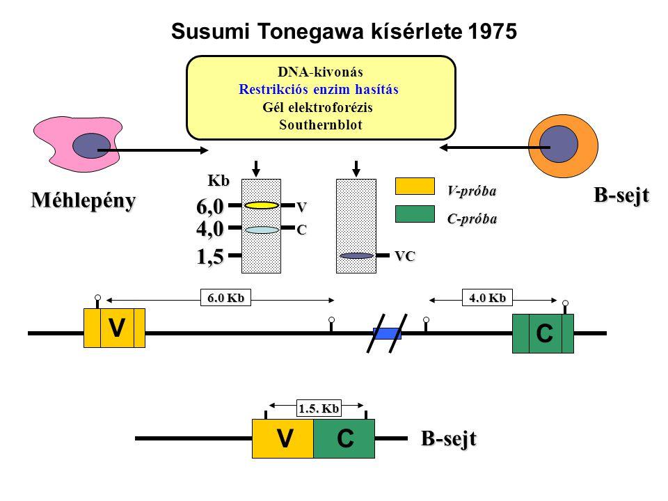 Méhlepény B-sejt 1.5. Kb B-sejt V C 6.0 Kb V C 4.0 Kb DNA-kivonás Restrikciós enzim hasítás Gél elektroforézis Southernblot VCKb6,0 1,5 V-próba 4,0 C