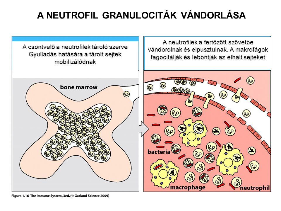 A csontvelő a neutrofilek tároló szerve Gyulladás hatására a tárolt sejtek mobilizálódnak A neutrofilek a fertőzött szövetbe vándorolnak és elpusztuln