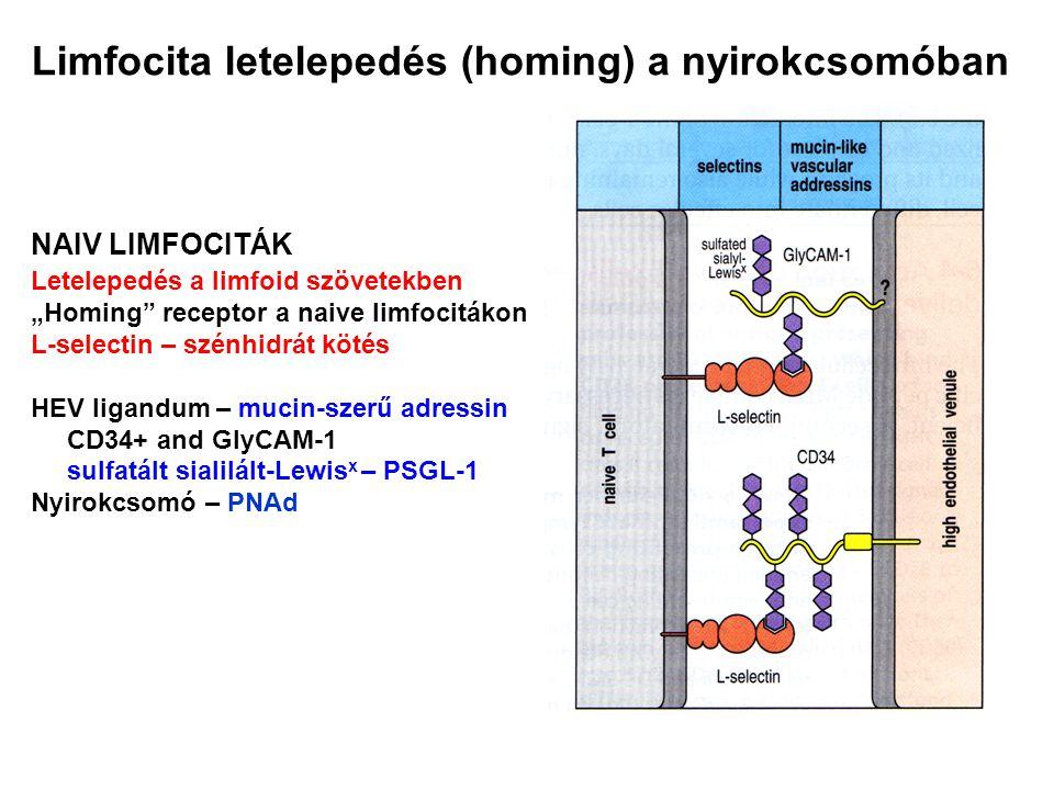 "Limfocita letelepedés (homing) a nyirokcsomóban NAIV LIMFOCITÁK Letelepedés a limfoid szövetekben ""Homing"" receptor a naive limfocitákon L-selectin –"