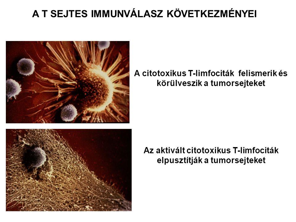 A citotoxikus T-limfociták felismerik és körülveszik a tumorsejteket Az aktivált citotoxikus T-limfociták elpusztítják a tumorsejteket A T SEJTES IMMU