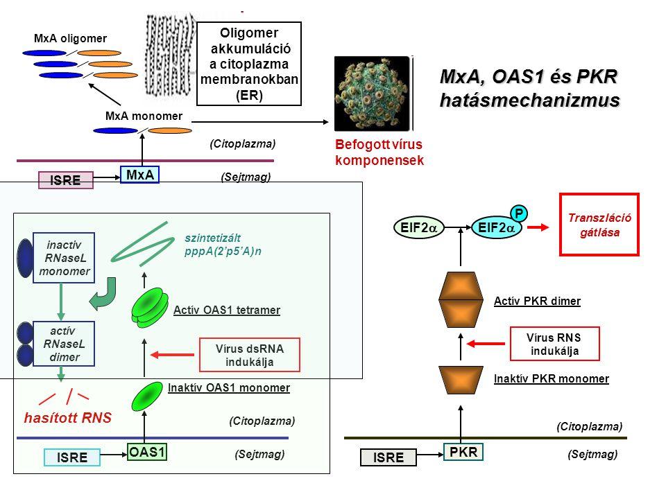 Oligomer akkumuláció a citoplazma membranokban (ER) (Sejtmag) (Citoplazma) ISRE MxA MxA monomer MxA oligomer Befogott vírus komponensek (Sejtmag) (Citoplazma) ISRE OAS1 Inaktív OAS1 monomer Vírus dsRNA indukálja Actív OAS1 tetramer szintetizált pppA(2'p5'A)n inactiv RNaseL monomer actív RNaseL dimer hasított RNS (Sejtmag) (Citoplazma) ISRE PKR Inaktív PKR monomer Actív PKR dimer Vírus RNS indukálja EIF2  P Transzláció gátlása MxA, OAS1 és PKR hatásmechanizmus