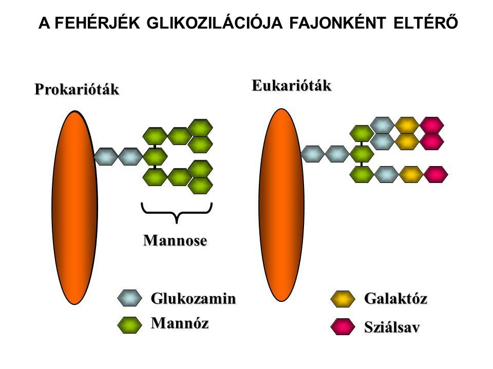 Makrofág/dendritikus sejt Mannóz Receptor Baktérium Mannóz A FAGOCITÁK MANNÓZ RECEPTORT HORDOZNAK