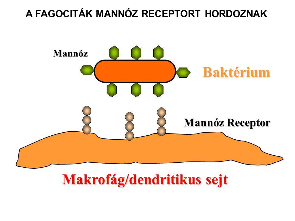 MINTÁZAT FELISMERÉS A MANNÁN KÖTŐ LEKTIN ÁLTAL Erős kötés Nincs kötés Baktérium Komplement aktiválás lízis CH-felismerés kollagén Mannán kötő lektin MBL (MBP) 6 CH-kötő hely Mannóz és fukóz Megfelelő elrendezés Mannóz és fukóz Nem megfelelő elrendezés Makrofág Fagocitózis CR3 LEKTIN ÚT