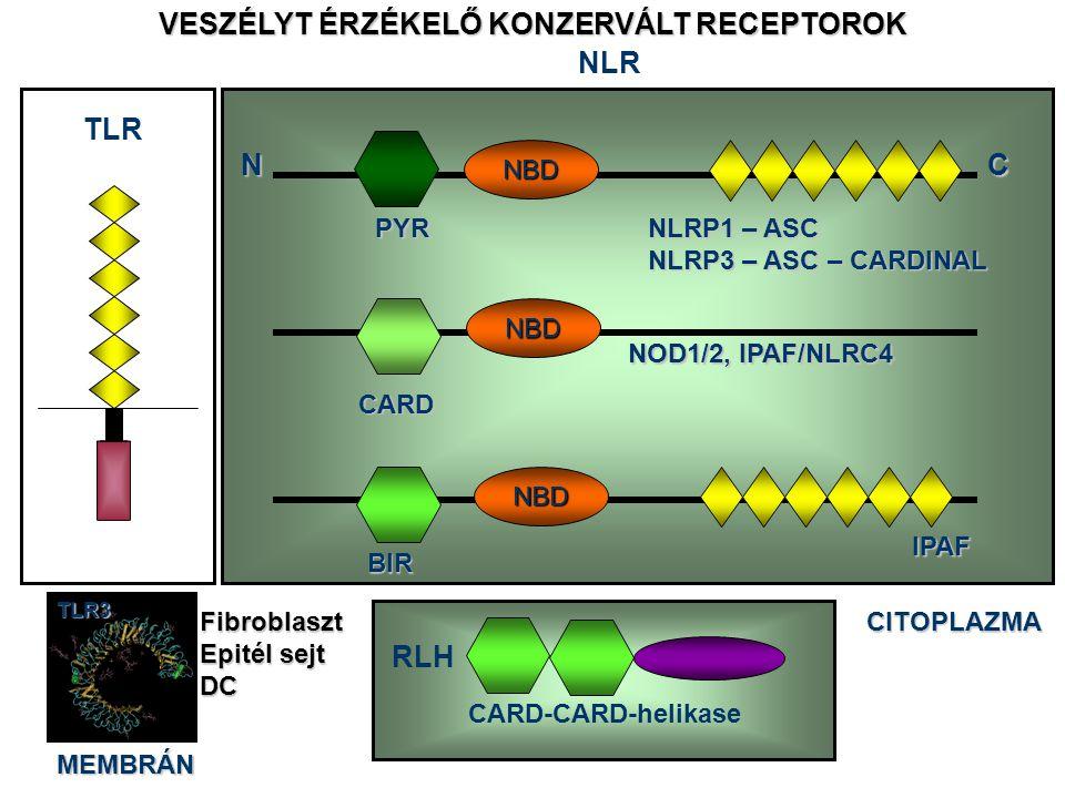 TLR CITOPLAZMA CARD-CARD-helikase RLH VESZÉLYT ÉRZÉKELŐ KONZERVÁLT RECEPTOROK NLR Leucin rich repeats Nucleotide binding domain MEMBRÁNTLR3Fibroblaszt