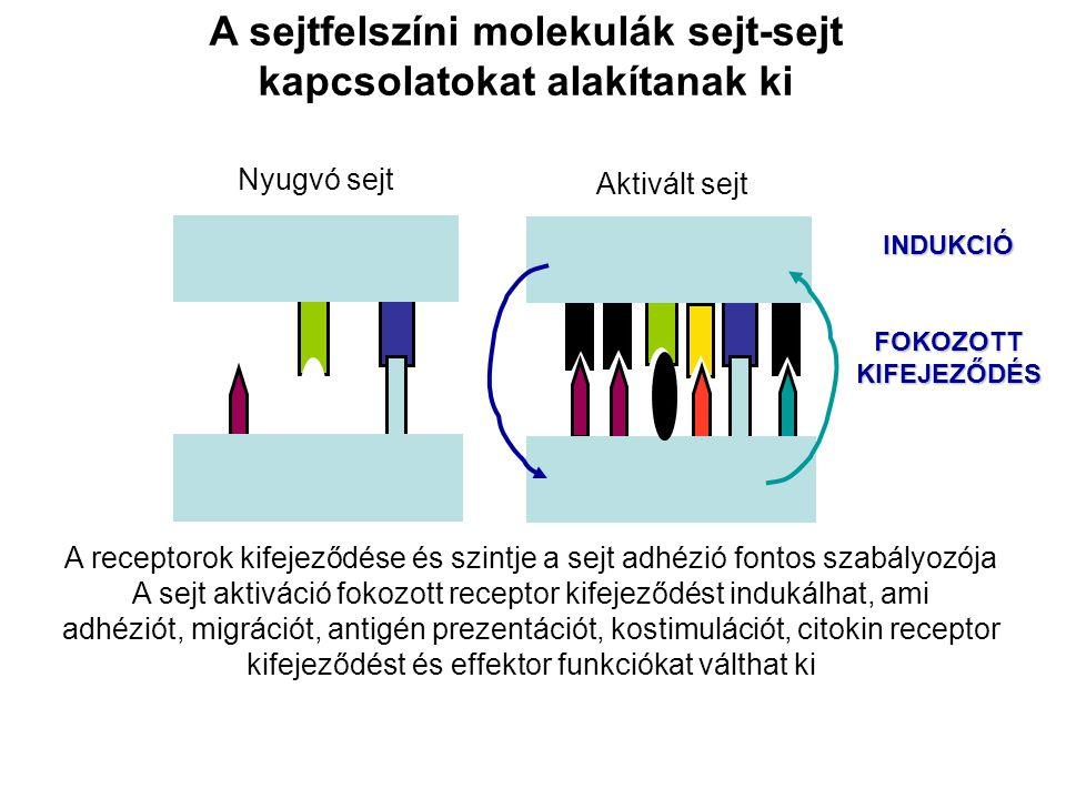 A sejtfelszíni molekulák sejt-sejt kapcsolatokat alakítanak ki A receptorok kifejeződése és szintje a sejt adhézió fontos szabályozója A sejt aktiváci