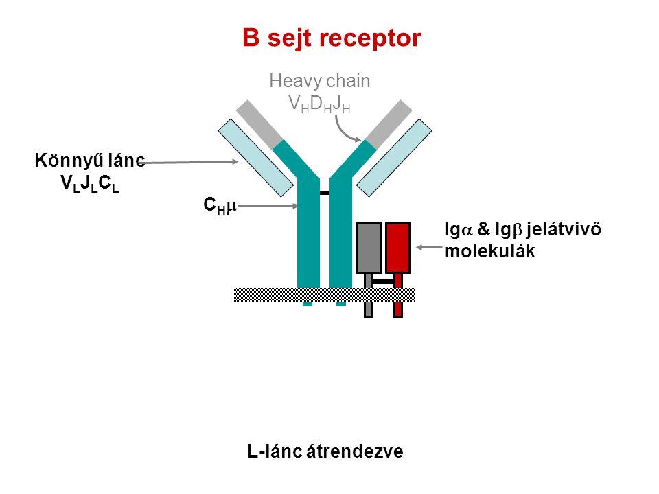 B sejt receptor Ig  & Ig  jelátvivő molekulák CHCH Heavy chain V H D H J H Könnyű lánc V L J L C L L-lánc átrendezve