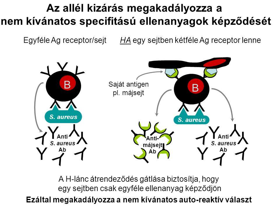 Y Y YY A H-lánc átrendeződés gátlása biztosítja, hogy egy sejtben csak egyféle ellenanyag képződjön Az allél kizárás megakadályozza a nem kívánatos sp