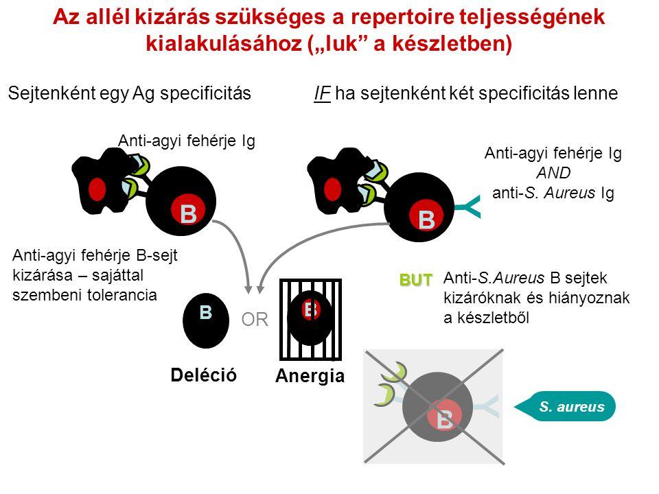 """Az allél kizárás szükséges a repertoire teljességének kialakulásához (""""luk"""" a készletben) Anti-agyi fehérje B-sejt kizárása – sajáttal szembeni tolera"""
