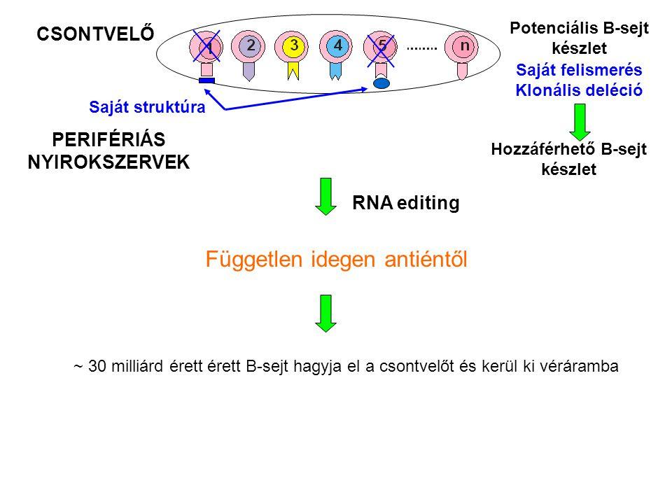 CSONTVELŐ Potenciális B-sejt készlet Saját struktúra Saját felismerés Klonális deléció PERIFÉRIÁS NYIROKSZERVEK Hozzáférhető B-sejt készlet Független