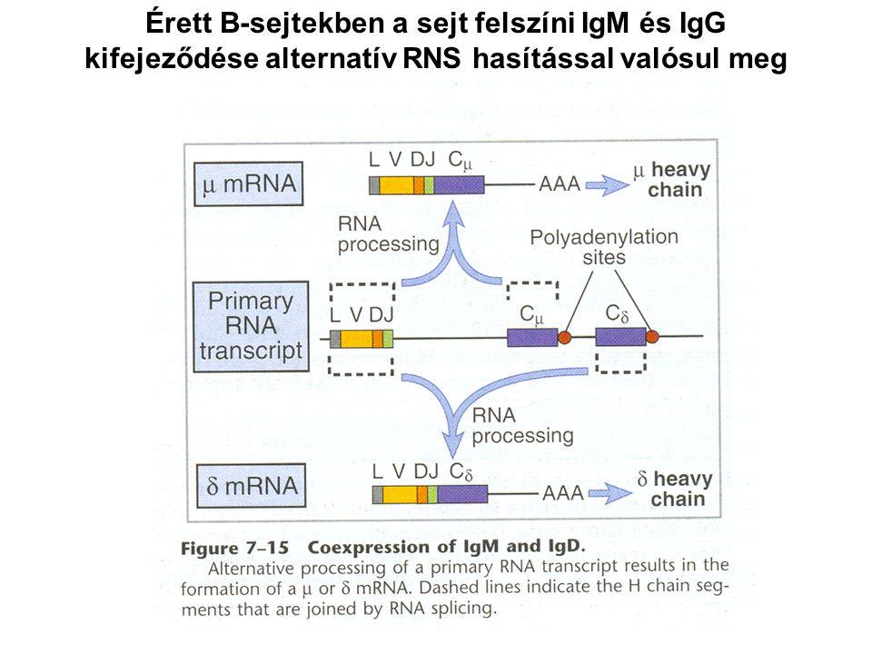 Érett B-sejtekben a sejt felszíni IgM és IgG kifejeződése alternatív RNS hasítással valósul meg